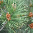 Mediterranean pine — Stock Photo