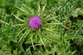 Seaside thistle — Stock Photo