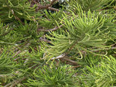 Araucaria - the type of coniferous tree — Stock Photo