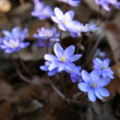 Hepatica — Stock Photo