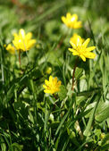 Spring yellow flowers — Stockfoto