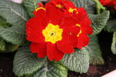 Red primulas — Stock fotografie