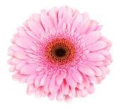 Pink gerbera isolated — Foto de Stock