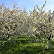 Orchard - Stock Photo