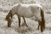 At sepya içinde — Stok fotoğraf