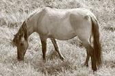 Paard in sepia — Stockfoto