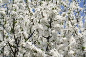 Tree blooming — Stock Photo