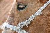 Horse'e eye — Stock Photo