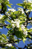 árbol florece — Foto de Stock