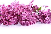 Violet lilac — Stock Photo