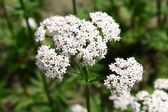 Valerian flowers — Stock Photo