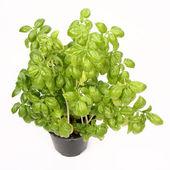 Fresh basil plant — Stock Photo