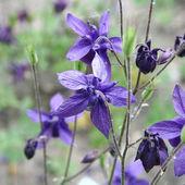 Columbine flowers — Stock Photo