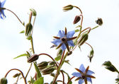 Borage flowers (starflower) with blue sky in the background — Stock Photo