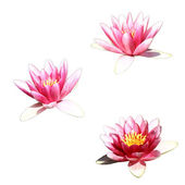Waterlily — Stock Photo