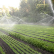 Stock Photo: Watering of nursery plantation