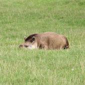 Tapir — Стоковое фото