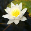 Waterlily — Stock Photo #3707269