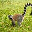 Lemur Catt(Maki) — Stock Photo #2938485