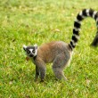 Lemur Catta (Maki) — Stock Photo