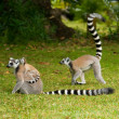 Royalty-Free Stock Photo: Lemur Catta (Maki)