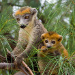 Stock Photo: Lemur Coronatus