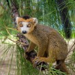 Lemur Coronatus - Stock Photo