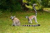 Lemur Catta (Maki) — Stock Photo