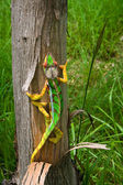 Panther cameleon — Stock Photo