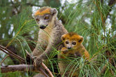 Lemur Coronatus — Stock Photo