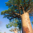 Baobab trees, Madagascar - Stock Photo