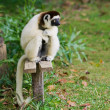 Sifaka, lemur from Madagascar — Stock Photo #2954966