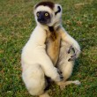 Sifaka, lemur from Madagascar — Stock Photo #2955038