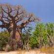 Foto Stock: Baobab tree and savanna