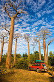 Baobab trees — Stock Photo