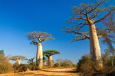 Baobab trees, Madagascar — Stock Photo