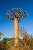 Baobab tree, Madagascar — Stock Photo