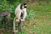 Sifaka, lemur from Madagascar — Stock Photo