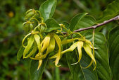 Ylang-Ylang flowers — Stock Photo