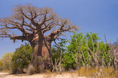 Baobab tree and savanna — Foto Stock