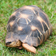 The radiated tortoise — Stock Photo