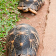 Radiated tortoise — Stock Photo #2993683