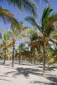 Palm grove — Stock Photo