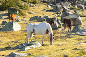 Horses - Pyrenees mountain — Stock Photo