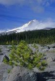 Mount Hood pine tree — Stock Photo