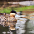 Stock Photo: Silver Teal - Anas versicolor
