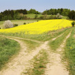 View on field path and yellow rape field — Stock Photo