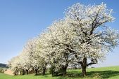Alley of flowering cherry-trees — Stock Photo
