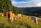 Cow grazing on the meadow — Stock Photo