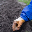 Stock Photo: Planting of garlic